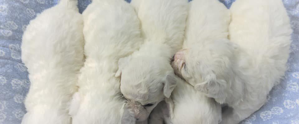Bichon Puppies